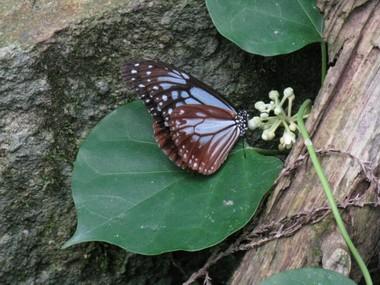 Asagimadara1055